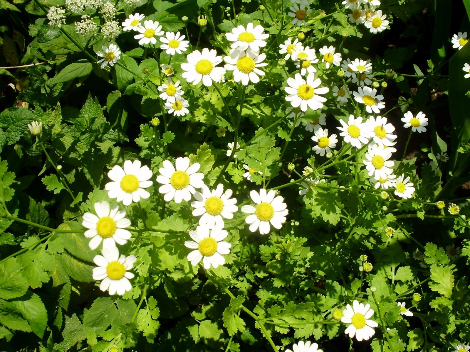 5775 скачать обои Растения, Цветы, Ромашки - заставки и картинки бесплатно