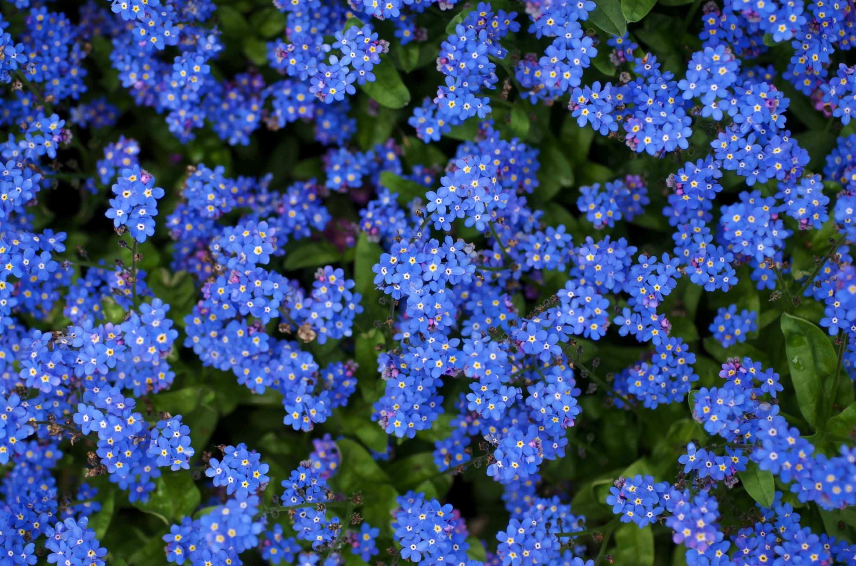 91724 скачать Синие обои на телефон бесплатно, Незабудки, Цветы, Яркие, Маленькие Синие картинки и заставки на мобильный