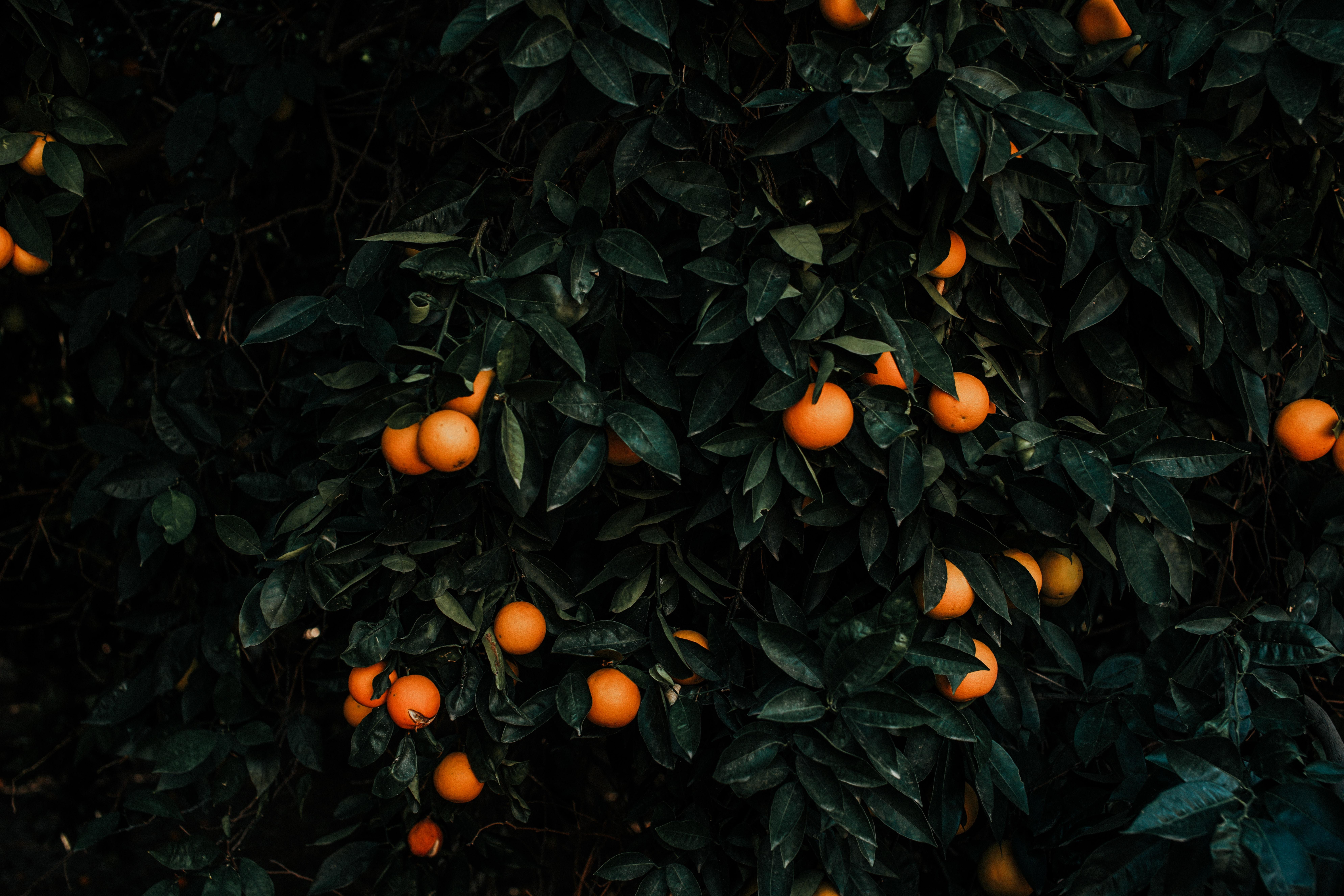 120547 скачать обои Куст, Цитрус, Разное, Мандарины, Растение, Плоды - заставки и картинки бесплатно