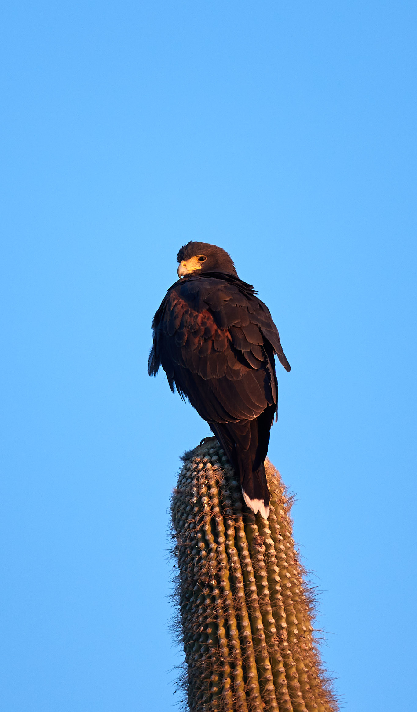 152563 download wallpaper Animals, Eagle, Bird, Brown, Cactus, Wildlife screensavers and pictures for free