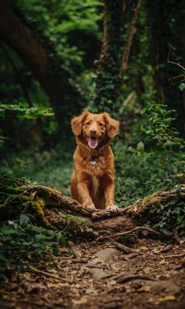 126647 download wallpaper Animals, Retriever, Dog, Pet, Protruding Tongue, Tongue Stuck Out, Funny screensavers and pictures for free