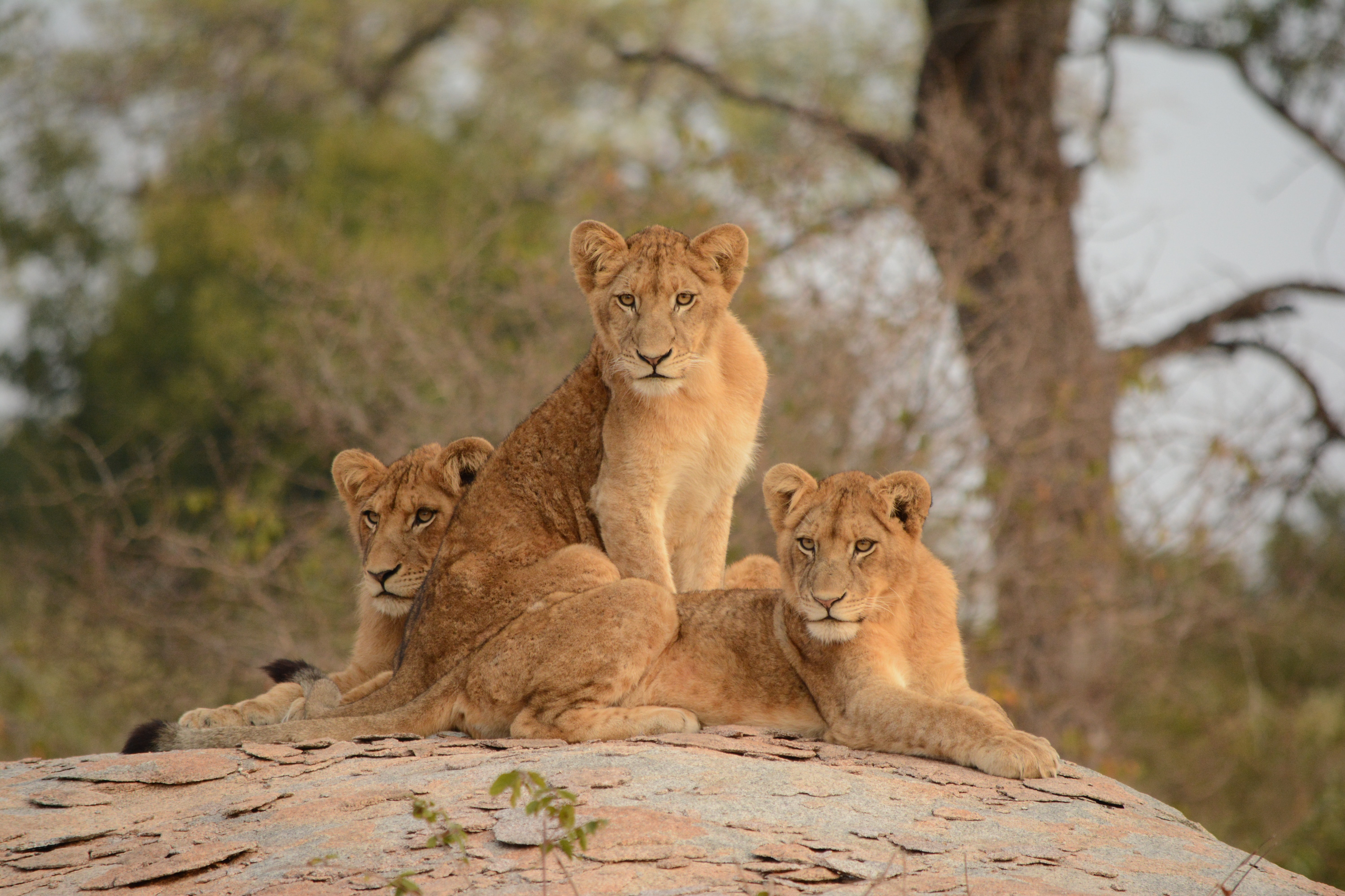104287 download wallpaper Animals, Lionesses, Lioness, Big Cat, Predator screensavers and pictures for free