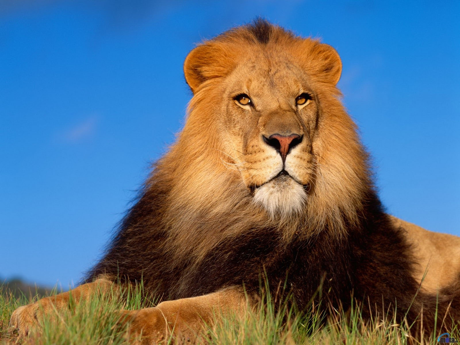 4291 download wallpaper Animals, Lions screensavers and pictures for free