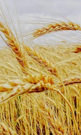 49744 скачать обои Растения, Пшеница - заставки и картинки бесплатно