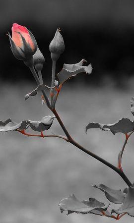 24610 скачать обои Растения, Цветы, Розы - заставки и картинки бесплатно