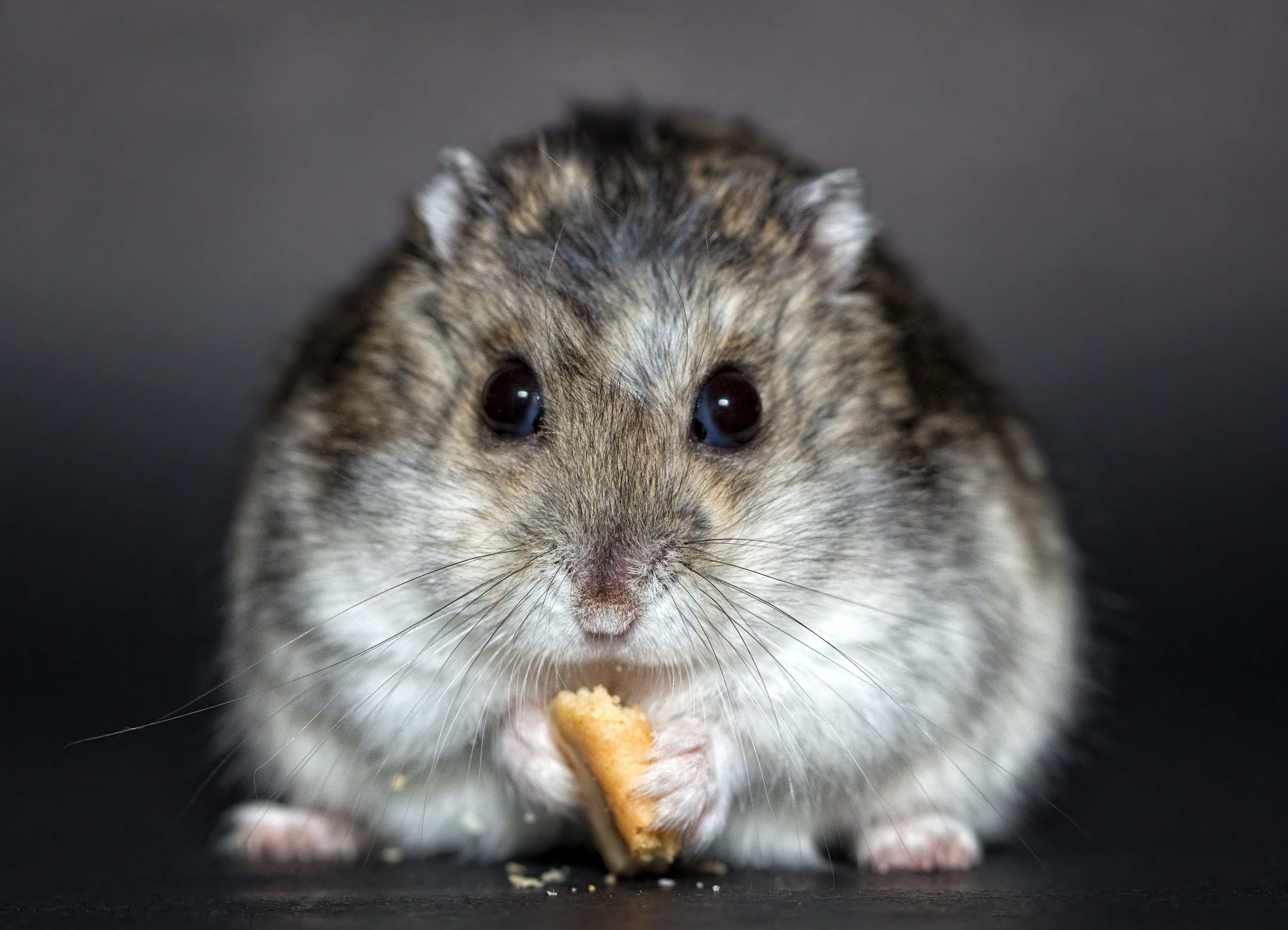 99330 download wallpaper Animals, Hamster, Cookie, Rodent, Nice, Sweetheart, Food screensavers and pictures for free