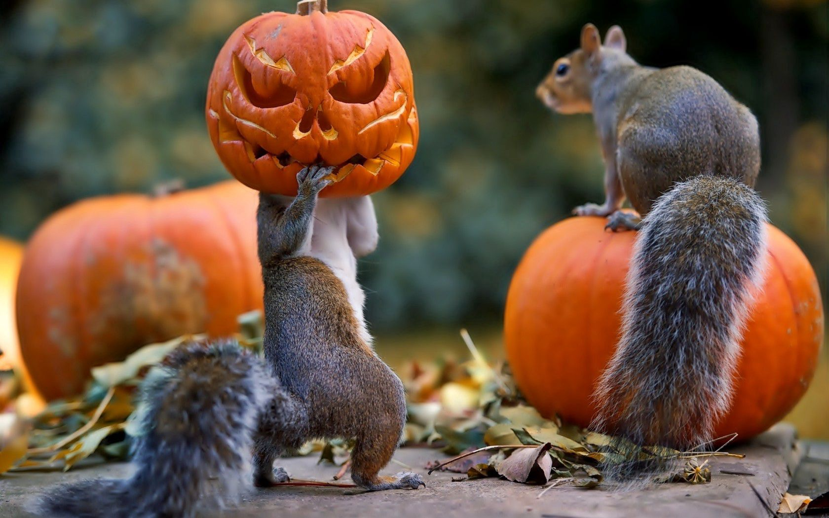 72705 download wallpaper Animals, Halloween, Squirrel, Pumpkin, Mask screensavers and pictures for free