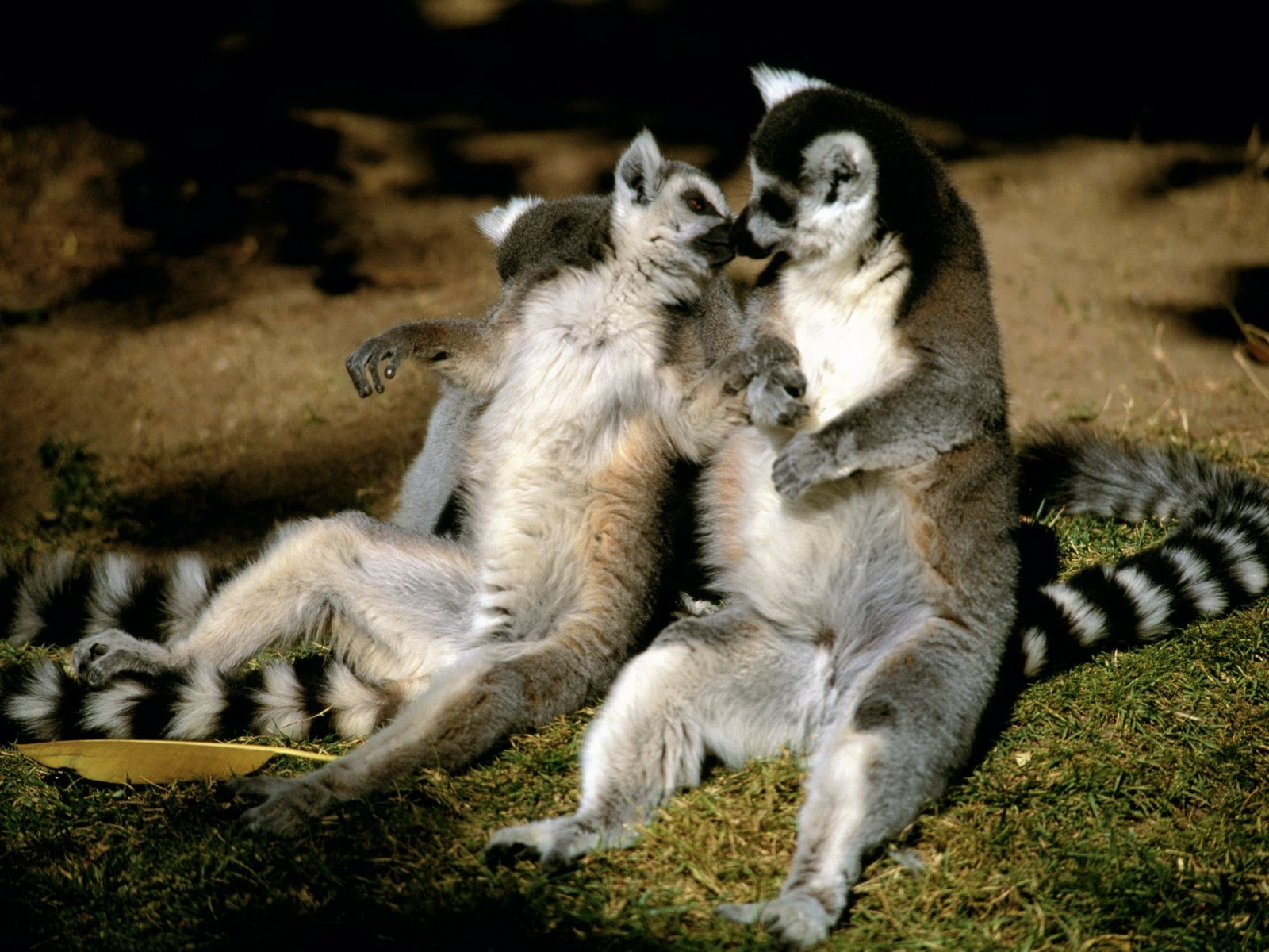 482 download wallpaper Funny, Animals, Lemurs screensavers and pictures for free