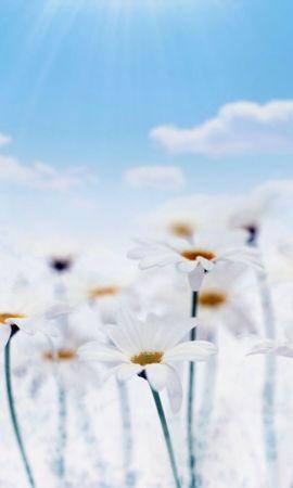 47361 télécharger le fond d'écran Plantes, Fleurs, Camomille - économiseurs d'écran et images gratuitement