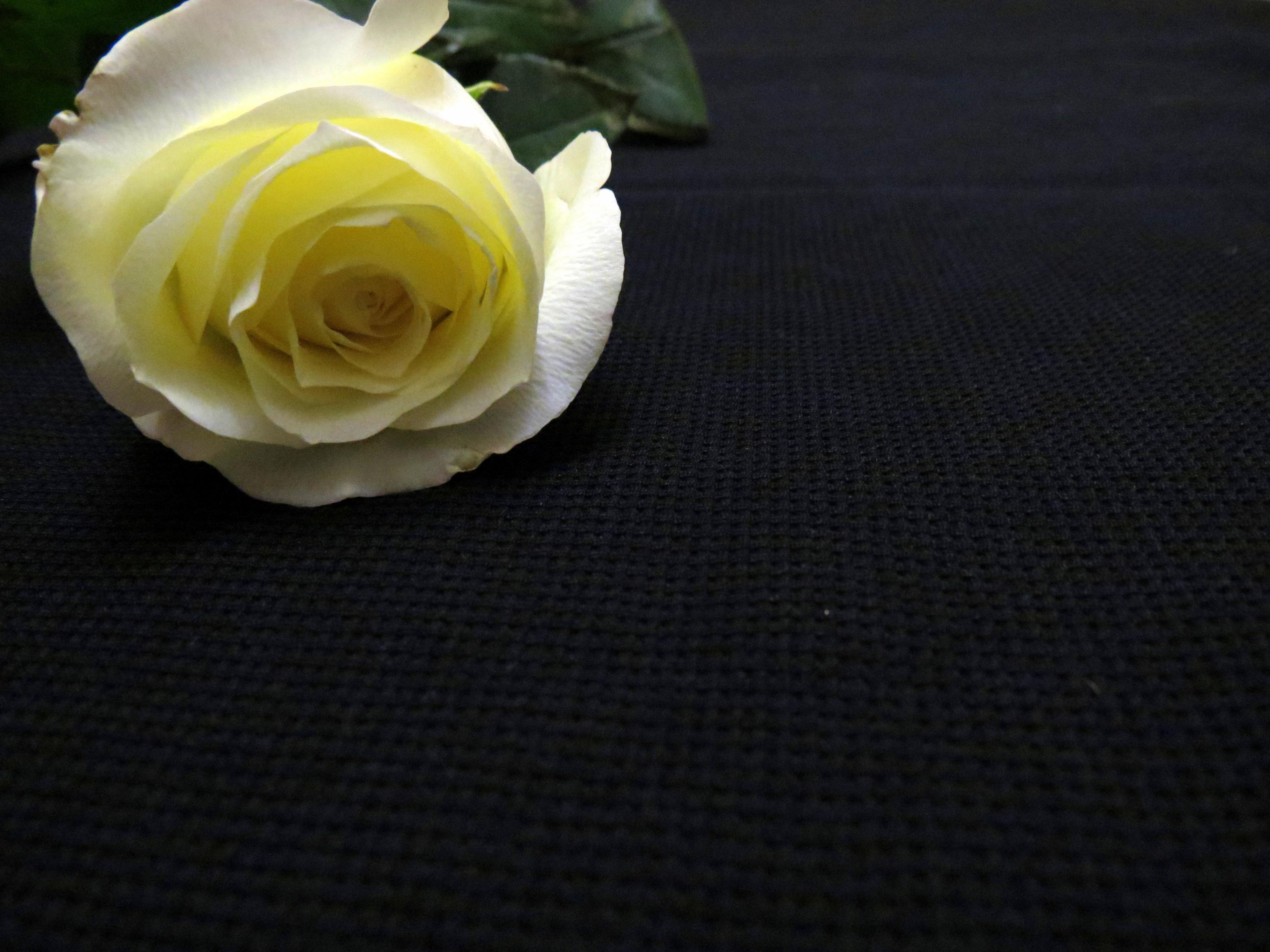 22823 télécharger le fond d'écran Plantes, Fleurs, Roses - économiseurs d'écran et images gratuitement