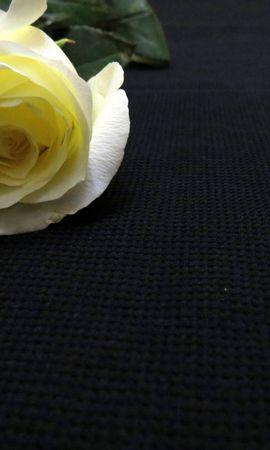 22823 скачать обои Растения, Цветы, Розы - заставки и картинки бесплатно