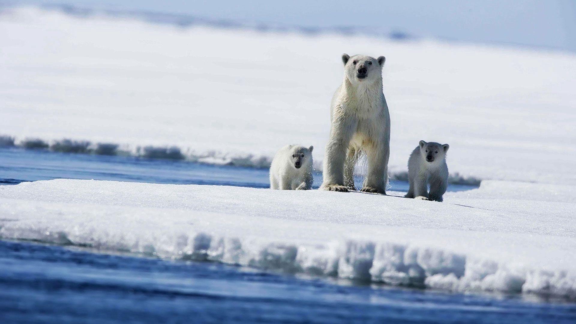 107702 Заставки и Обои Медведи на телефон. Скачать Медведи, Животные, Зима, Снег, Океан, Брызги картинки бесплатно