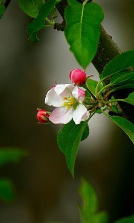 20603 скачать обои Растения, Цветы, Деревья - заставки и картинки бесплатно