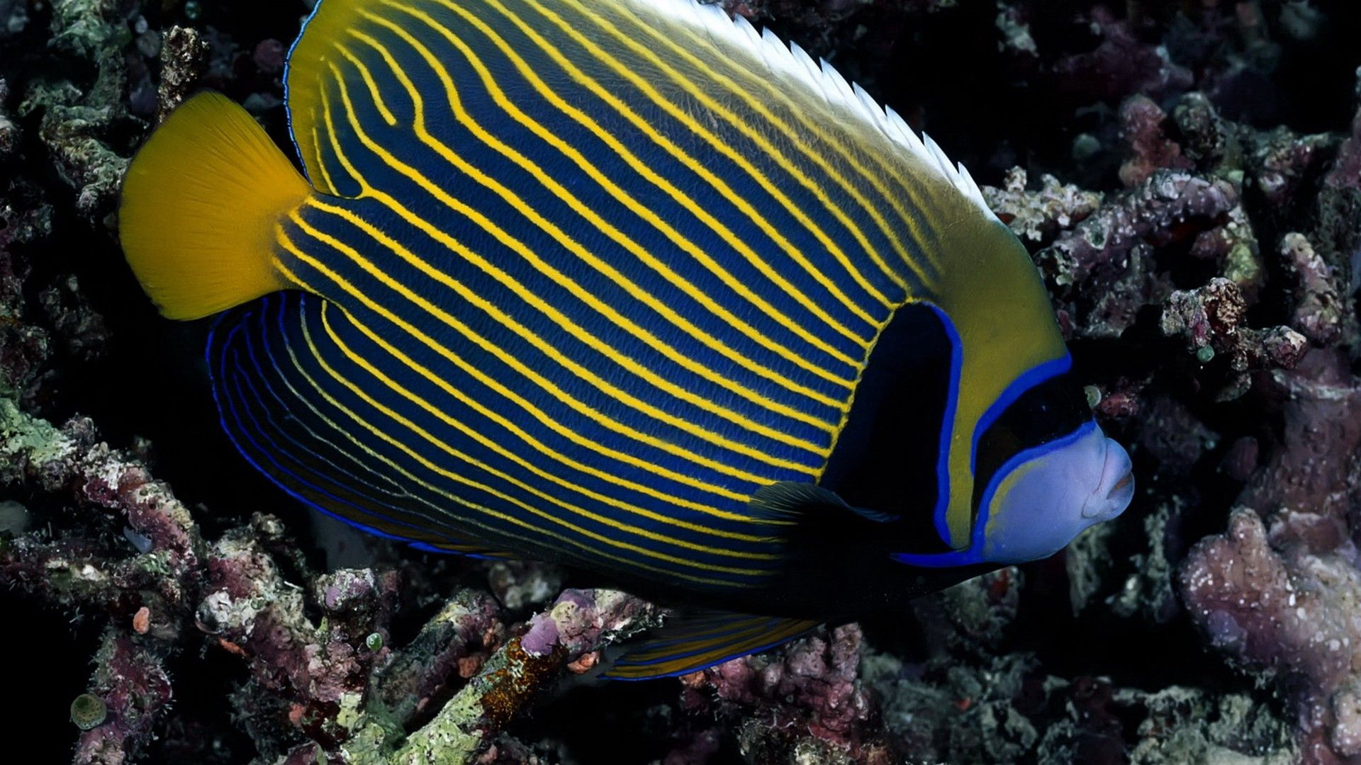 94250 download wallpaper Animals, Fish, To Swim, Swim, Striped screensavers and pictures for free