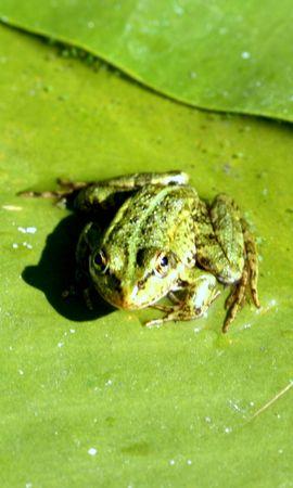 2232 baixar papel de parede Animais, Frogs - protetores de tela e imagens gratuitamente