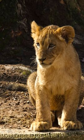 149759 download wallpaper Animals, Lion Cub, Lion, Animal, Predator, Wildlife screensavers and pictures for free