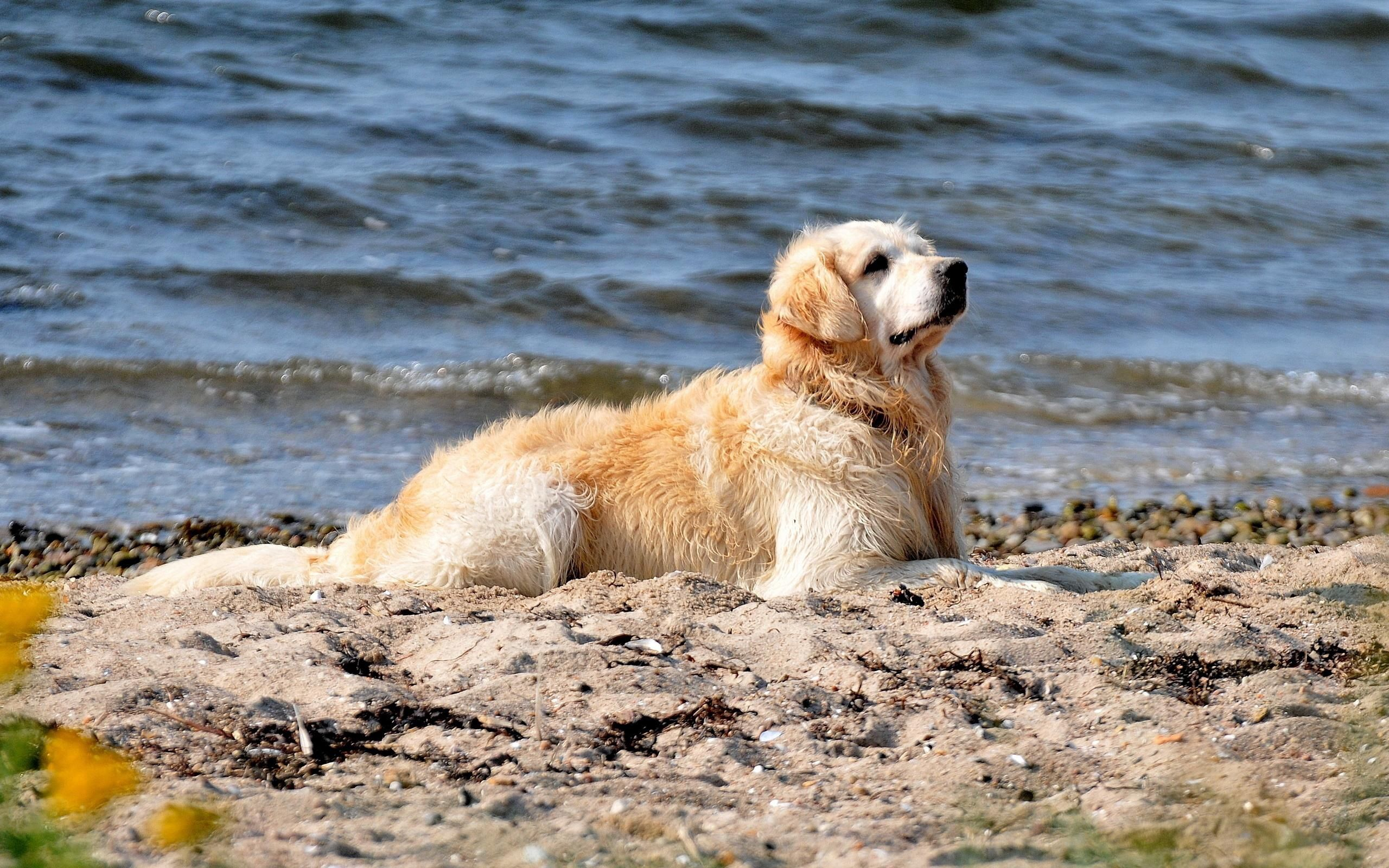 123350 download wallpaper Animals, Dog, Labrador, Sit, Shore, Bank, Sand, Water screensavers and pictures for free