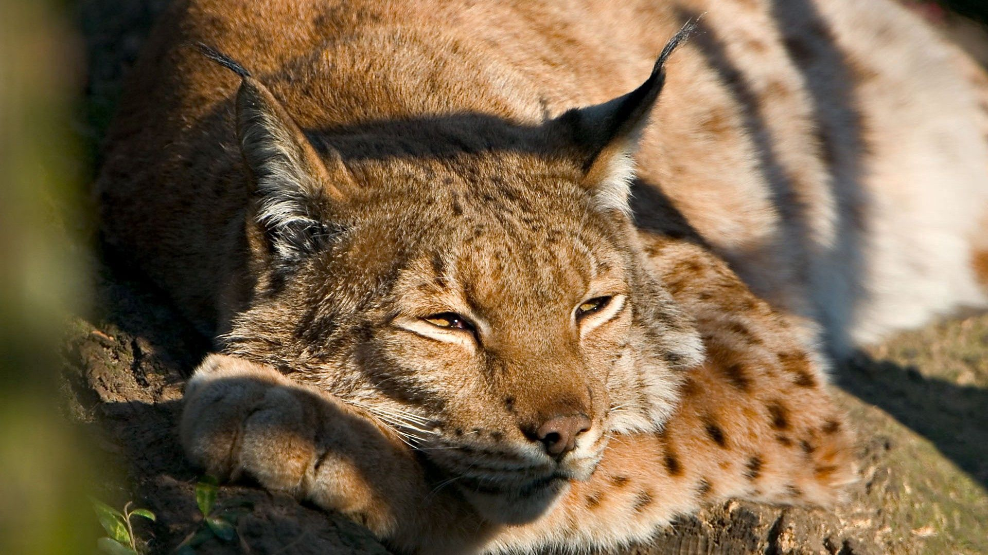 156289 download wallpaper Animals, Iris, Muzzle, Sleep, Dream, Nice, Sweetheart screensavers and pictures for free