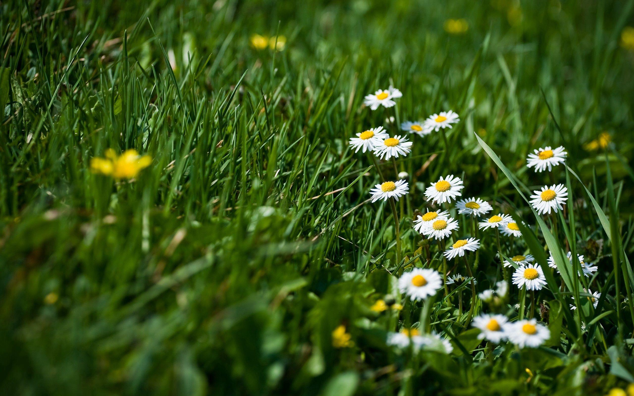 95767 скачать обои Цветы, Ромашки, Трава, Поляна, Зелень, Резкость - заставки и картинки бесплатно