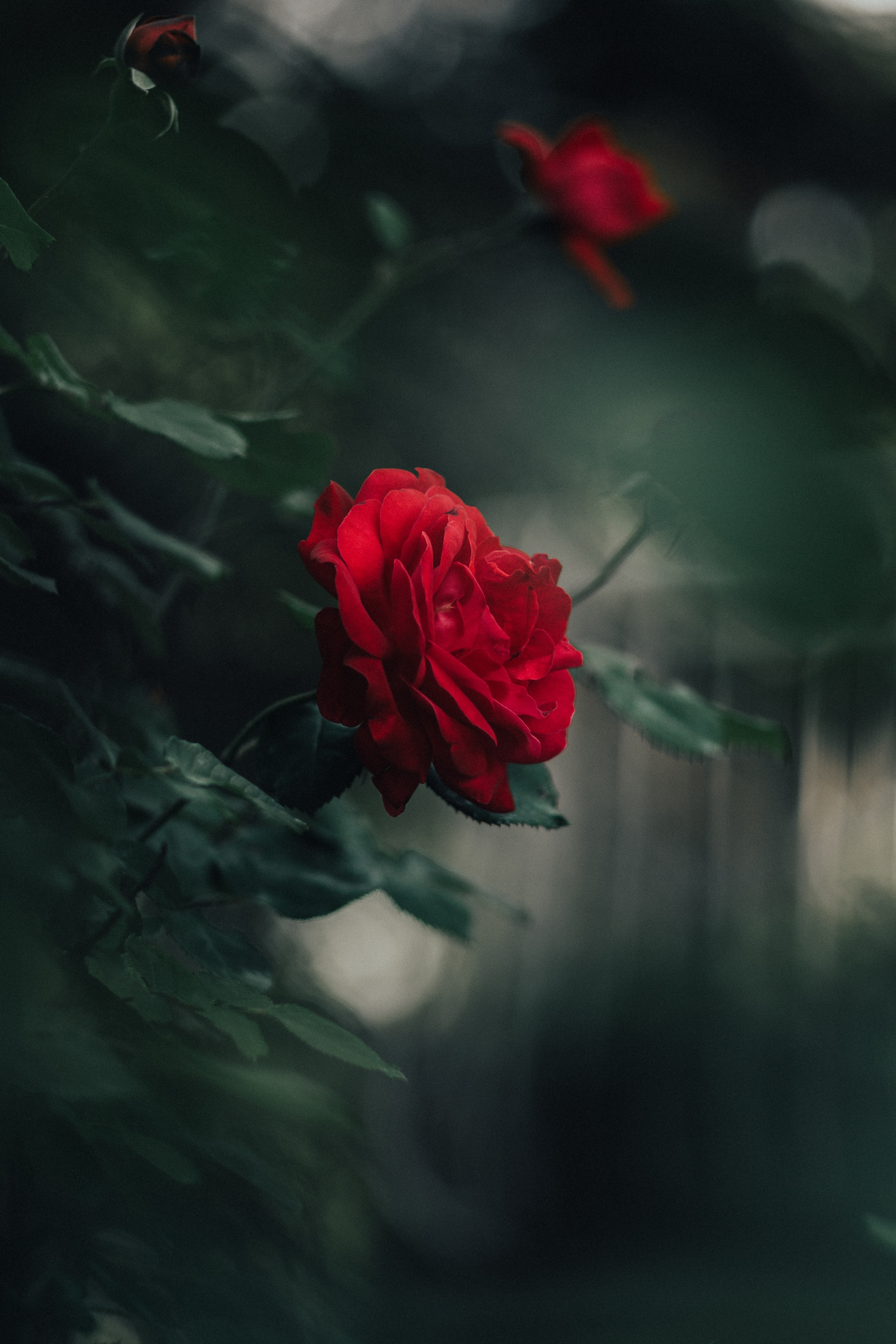 139452 download wallpaper Flowers, Rose Flower, Rose, Petals, Bud, Blur, Smooth screensavers and pictures for free