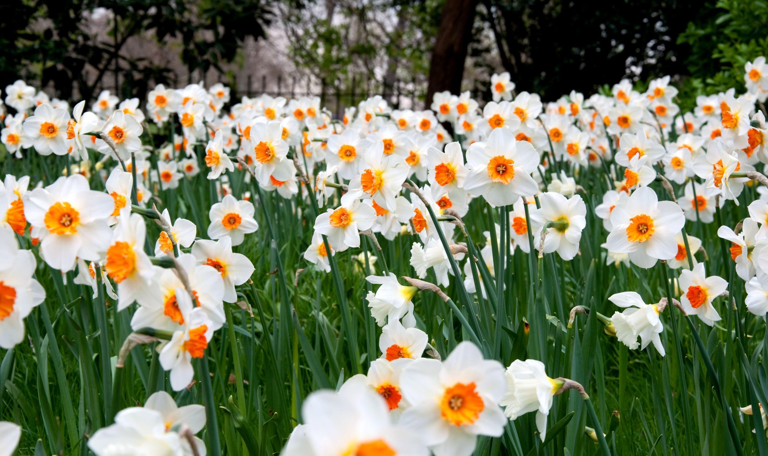 90667 Заставки и Обои Нарциссы на телефон. Скачать Цветы, Нарциссы, Зелень, Весна, Лужайка картинки бесплатно