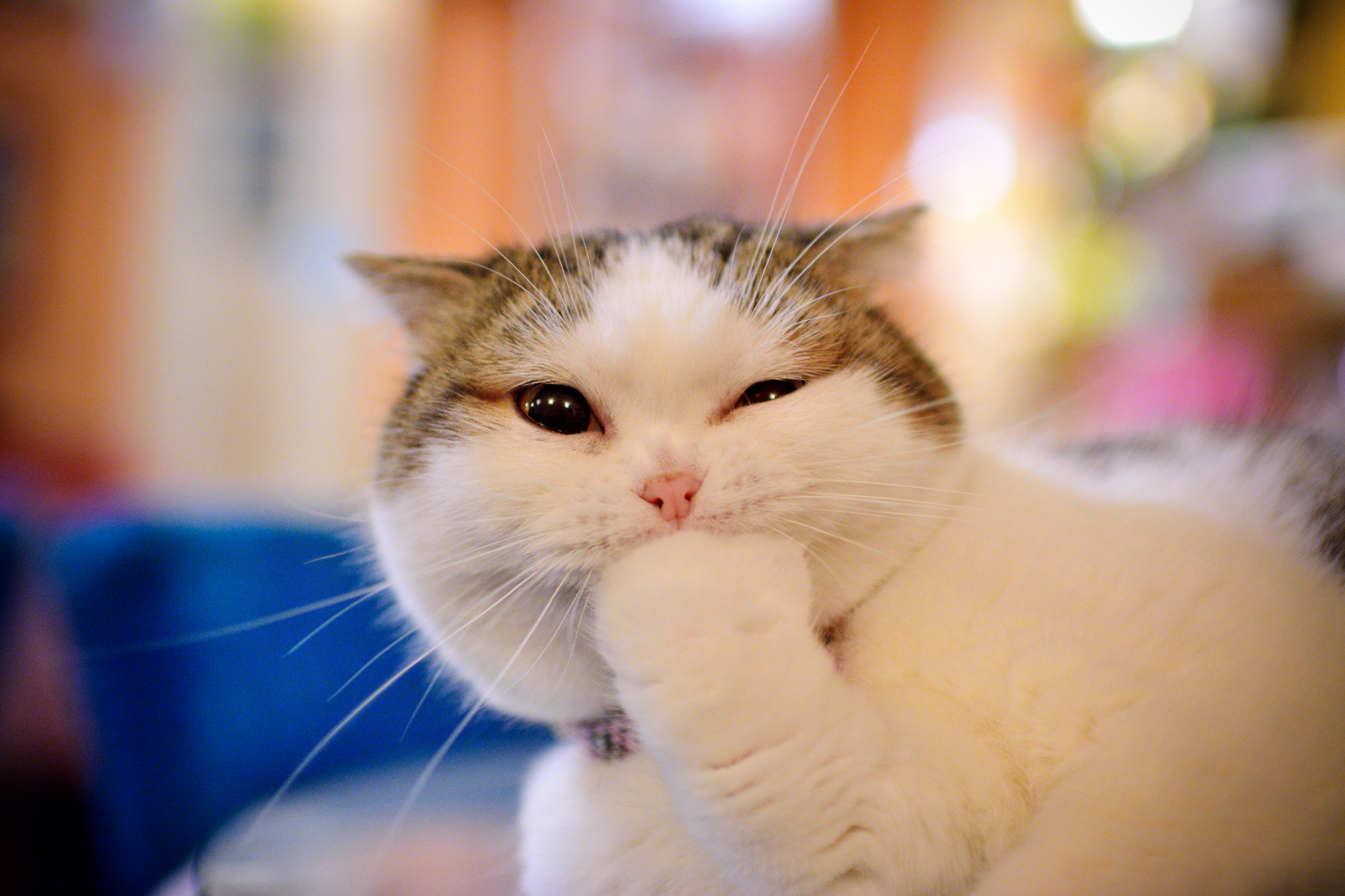 83581 download wallpaper Animals, Cat, Muzzle, Nice, Sweetheart, Emotions, Paw screensavers and pictures for free