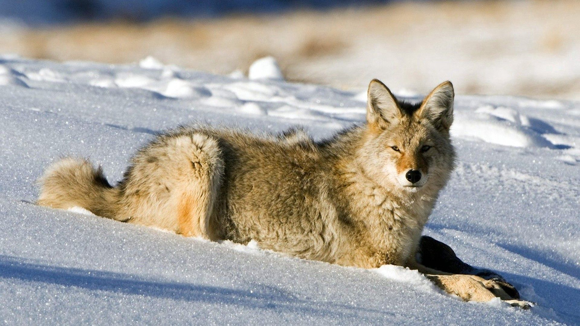 117359 download wallpaper Animals, Fox, Snow, Light, Hunting, Hunt screensavers and pictures for free