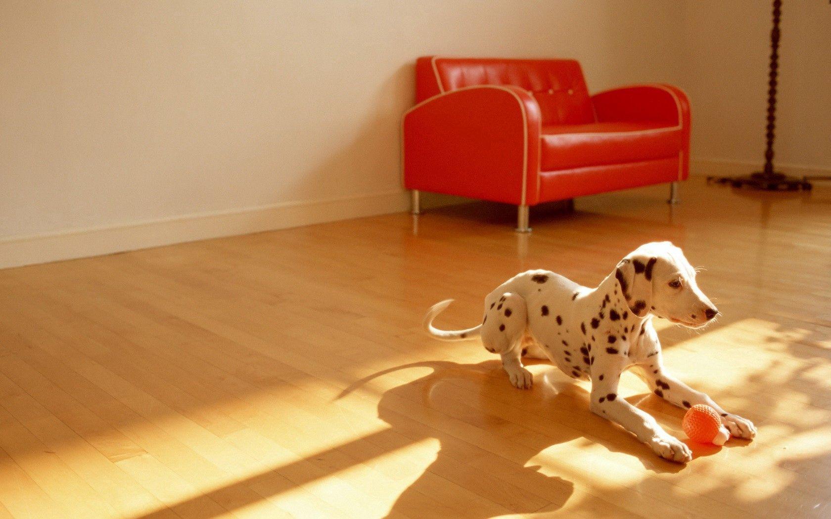 110443 скачать обои Животные, Далматинец, Собака, Комната, Пол, Мяч, Игрушка - заставки и картинки бесплатно