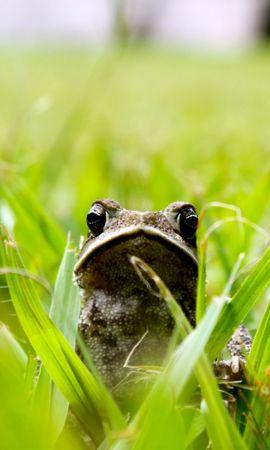 27064 baixar papel de parede Animais, Grama, Frogs - protetores de tela e imagens gratuitamente