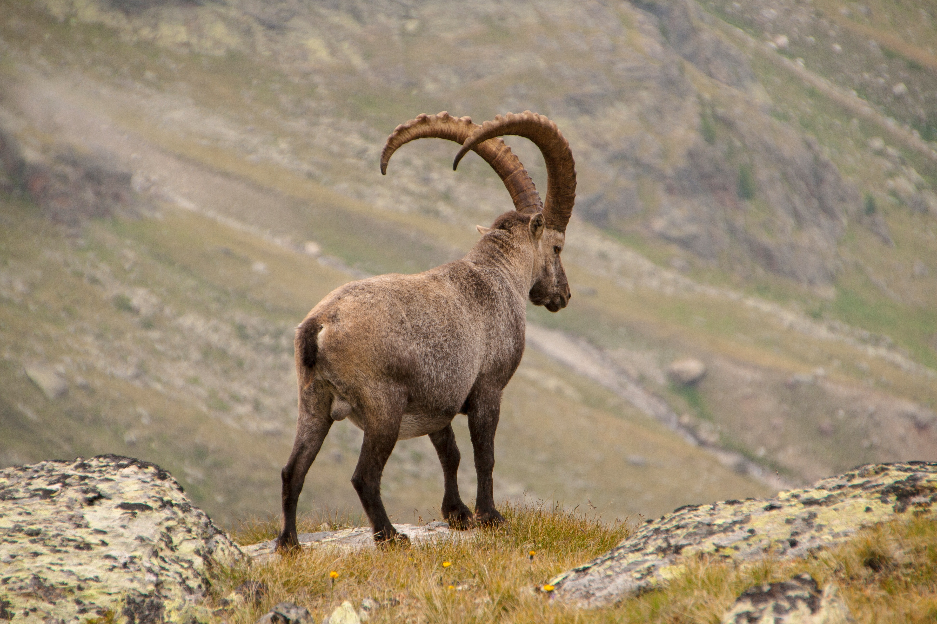 58538 download wallpaper Animals, Alpine Ibex, Alpine Mountain Goat, Horns, Mountains screensavers and pictures for free