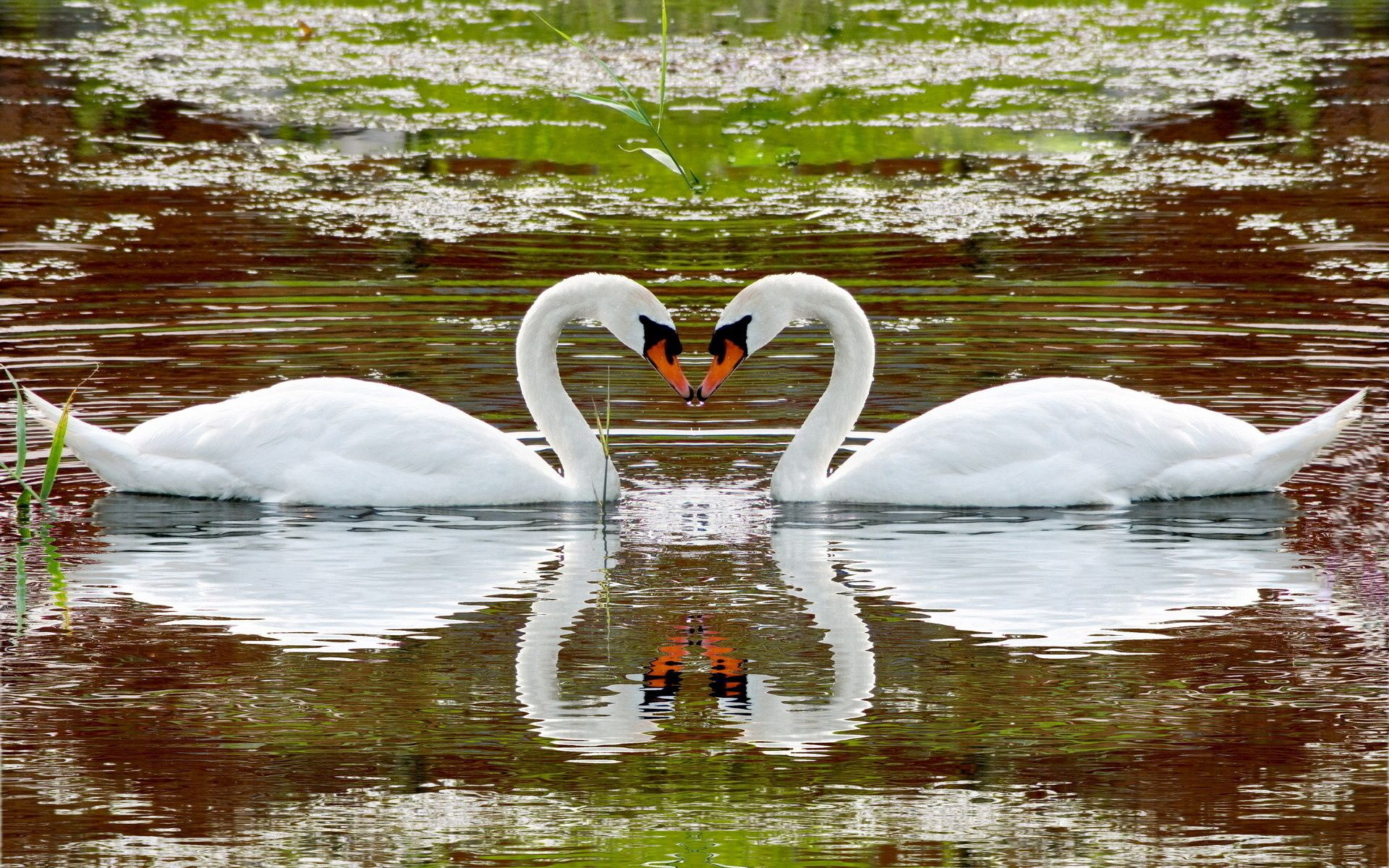 156022 download wallpaper Animals, Swans, Lake, To Swim, Swim, Couple, Pair, Fidelity, Reflection, Heart screensavers and pictures for free