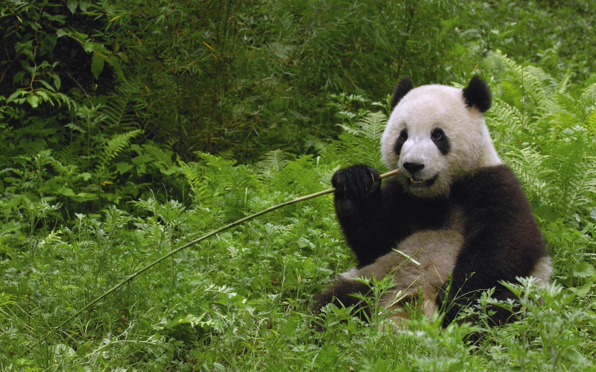 3253 download wallpaper Animals, Grass, Bears, Pandas screensavers and pictures for free