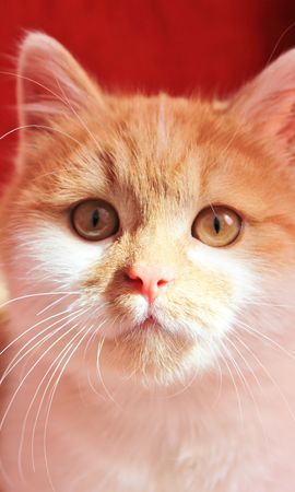 16935 download wallpaper Animals, Cats screensavers and pictures for free
