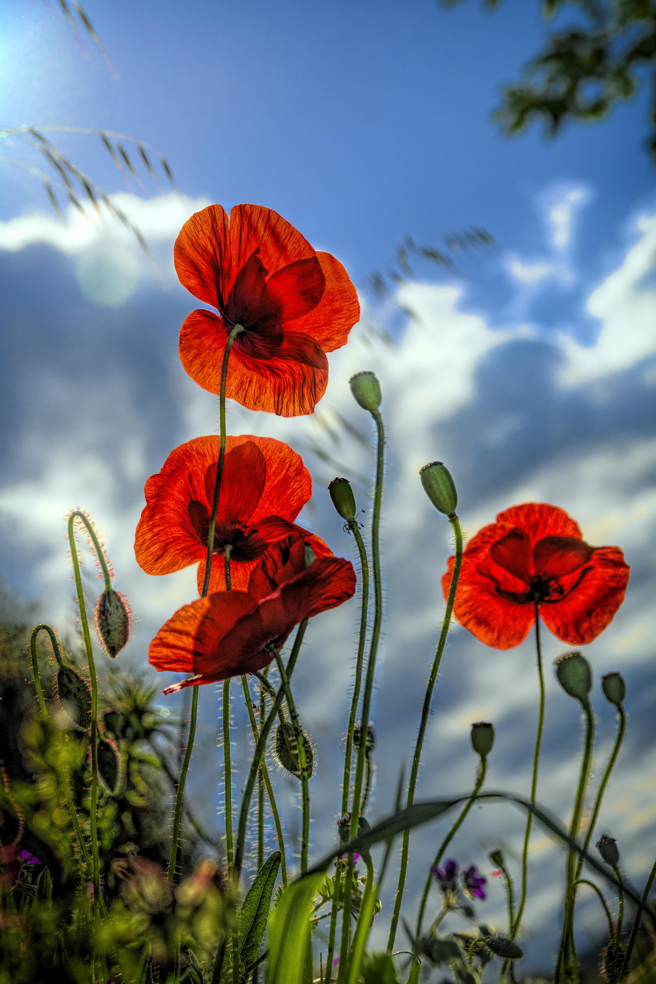 123224 скачать обои Цветы, Маки, Растение - заставки и картинки бесплатно