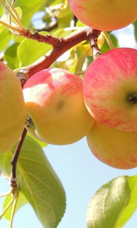 お使いの携帯電話の127545スクリーンセーバーと壁紙食品。 食品, ブランチ, 枝, 葉, 背景, りんごの写真を無料でダウンロード