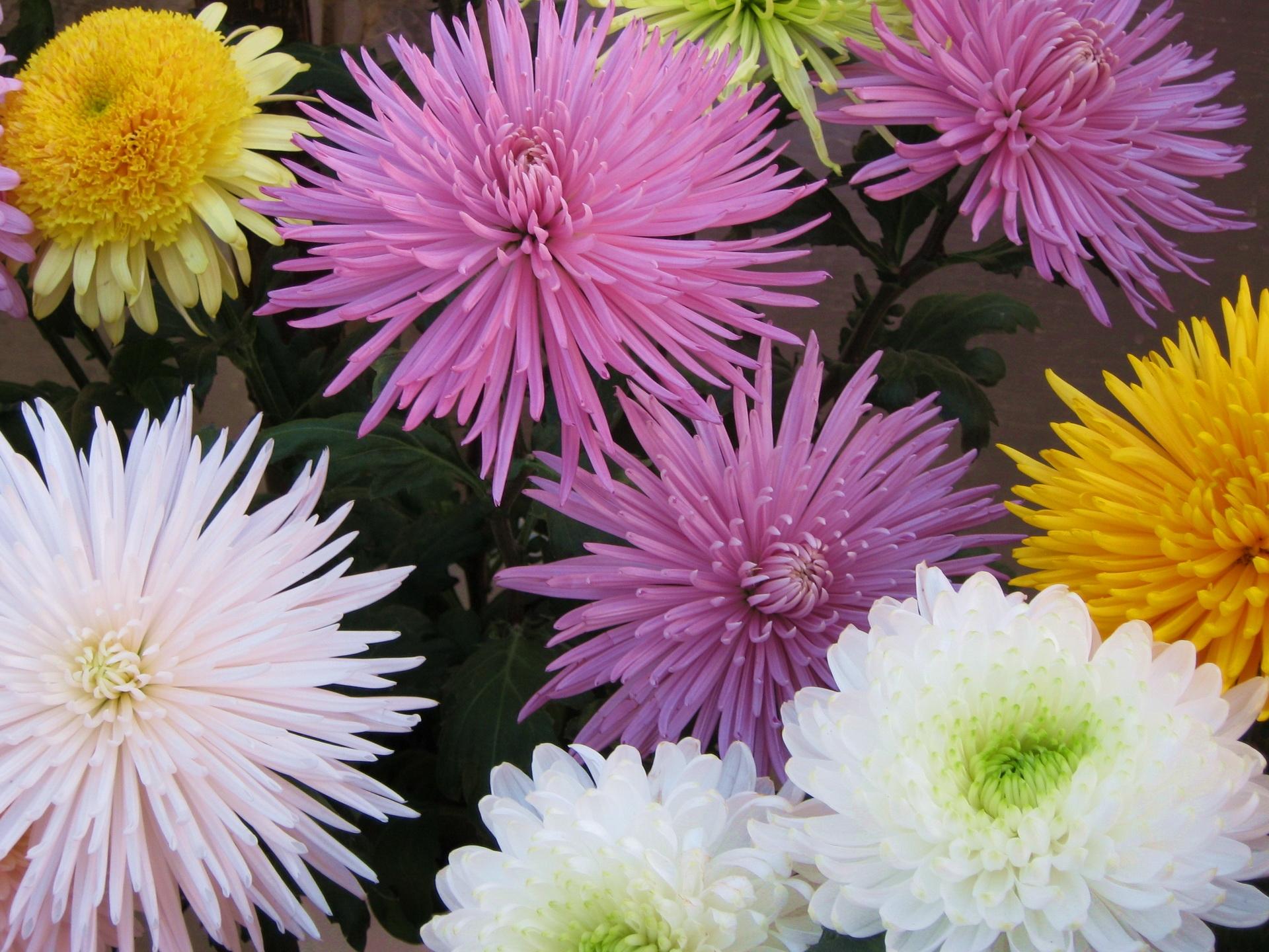 134399 скачать обои Хризантемы, Цветы, Букет, Яркие, Разные - заставки и картинки бесплатно