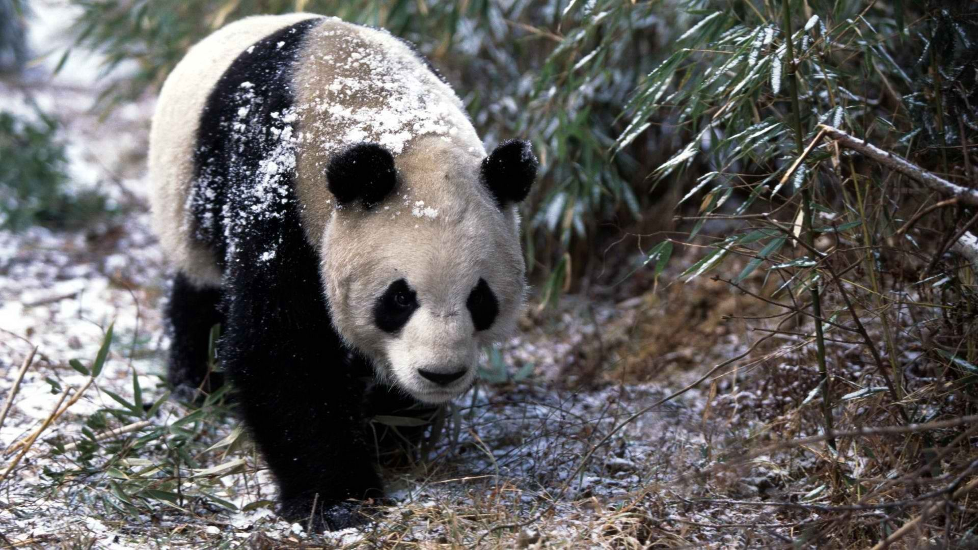 139593 download wallpaper Animals, Panda, Snow, Grass, Stroll, Trees screensavers and pictures for free