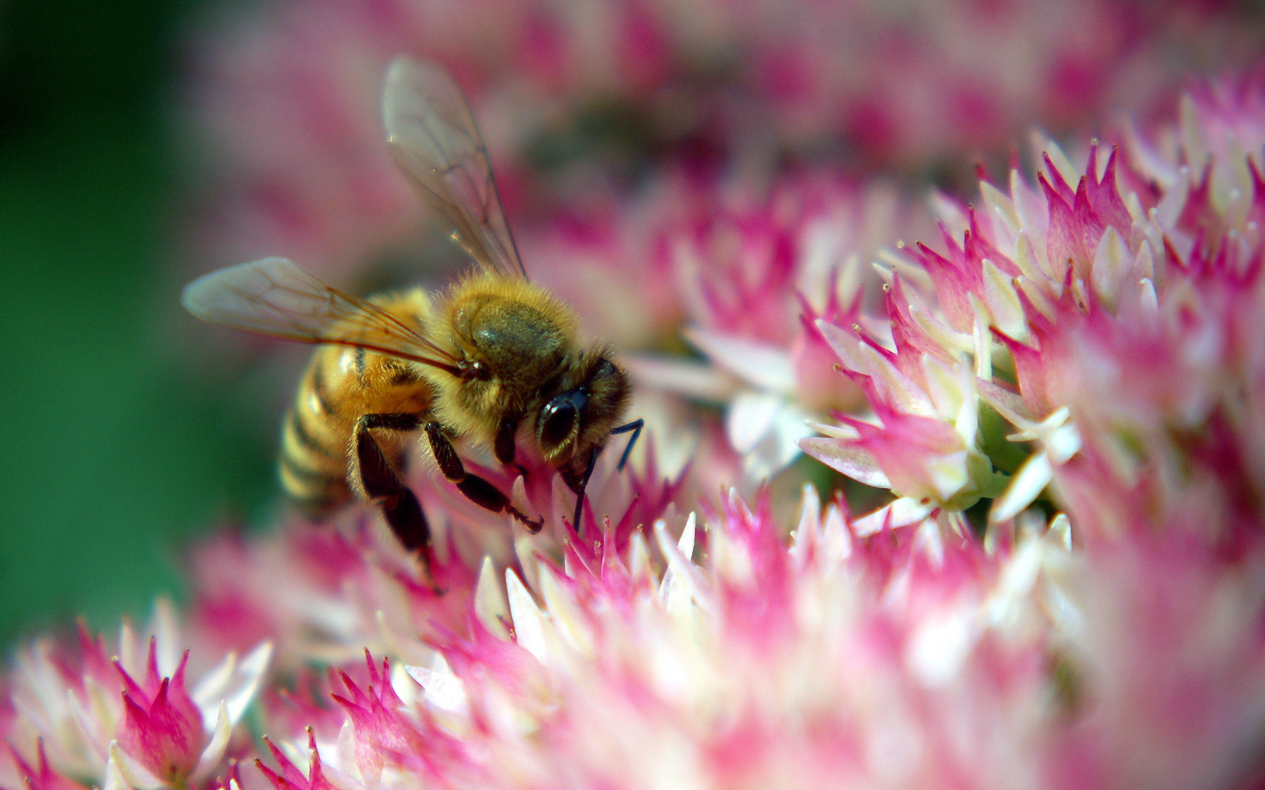 30343 Screensavers and Wallpapers Bees for phone. Download Insects, Bees pictures for free