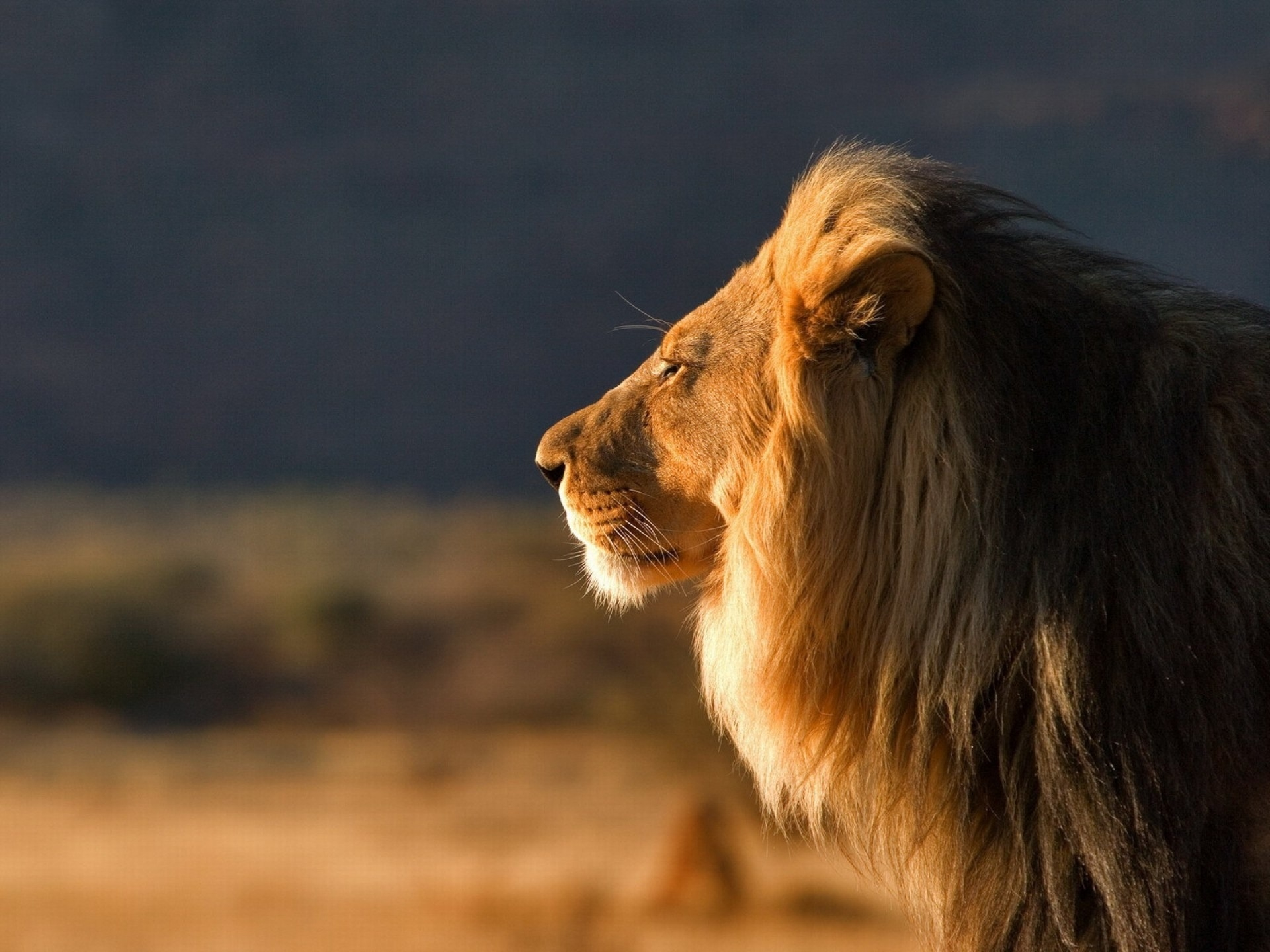 66158 Screensavers and Wallpapers Wool for phone. Download Animals, Muzzle, Lion, Mane, Profile, Wool pictures for free