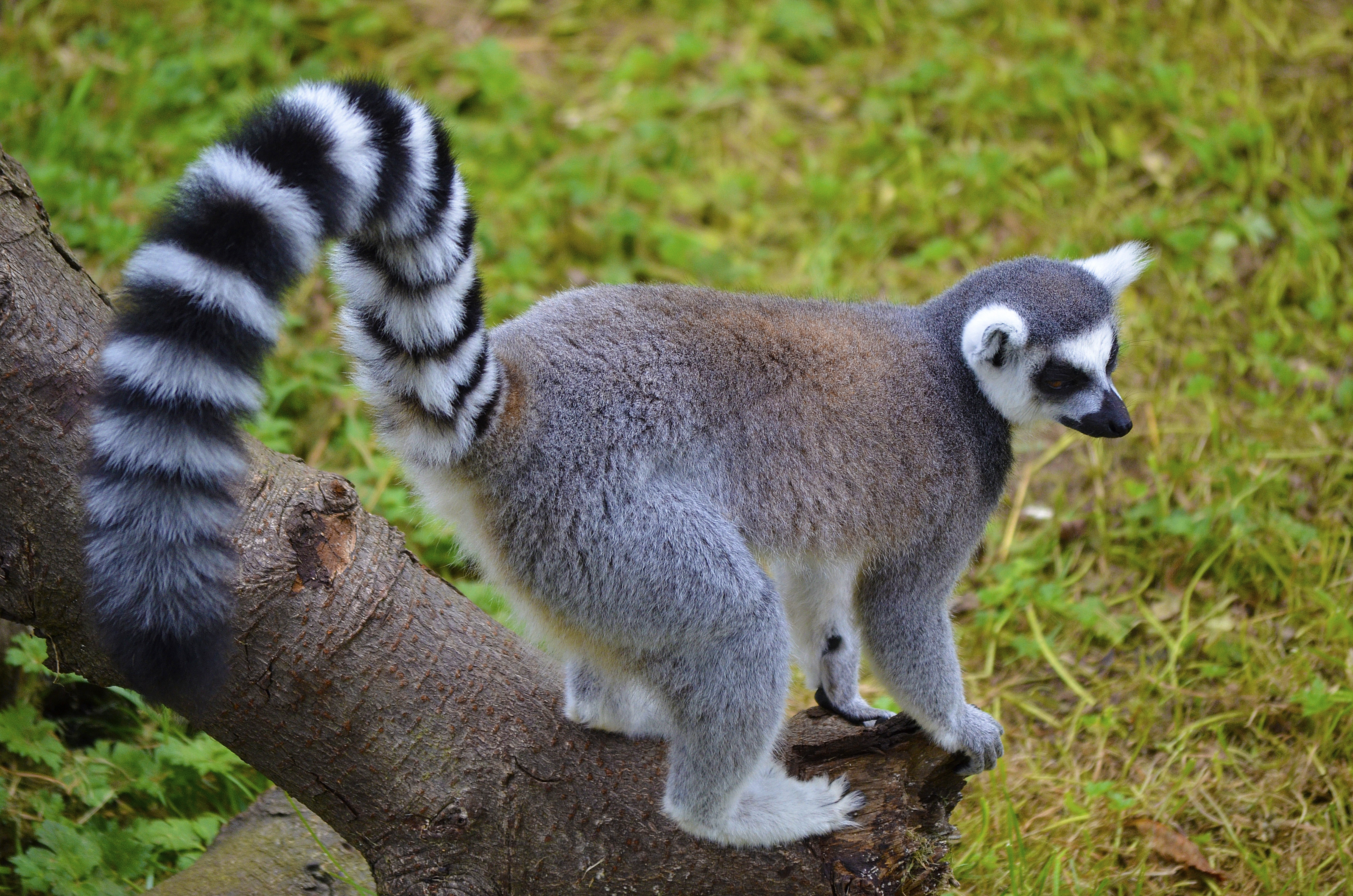 156985 download wallpaper Animals, Lemur, Tail, Striped, Stroll screensavers and pictures for free