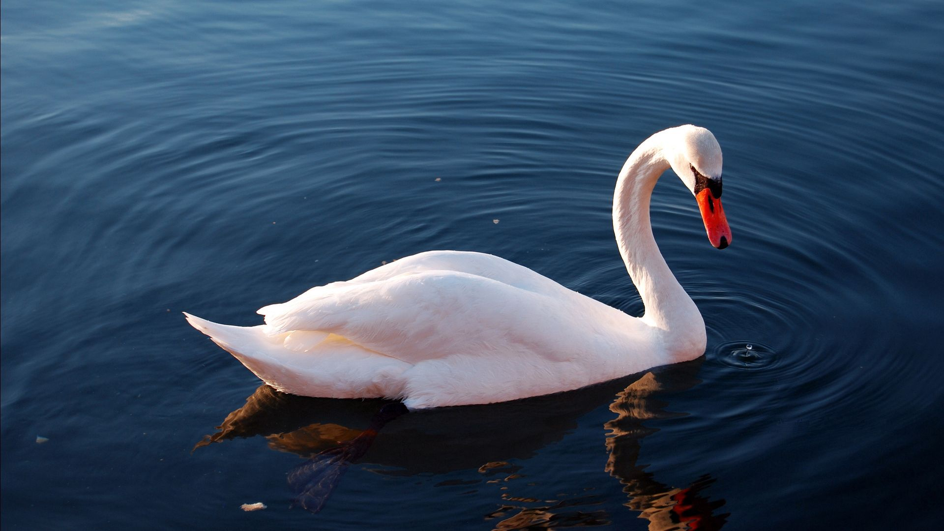 99998 download wallpaper Animals, Water, Feather, Bird, To Swim, Swim, Swan screensavers and pictures for free