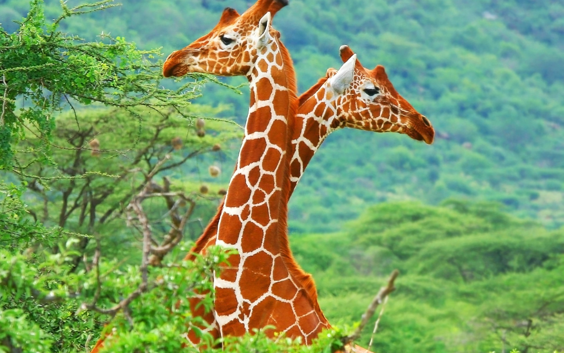 44692 download wallpaper Animals, Giraffes screensavers and pictures for free