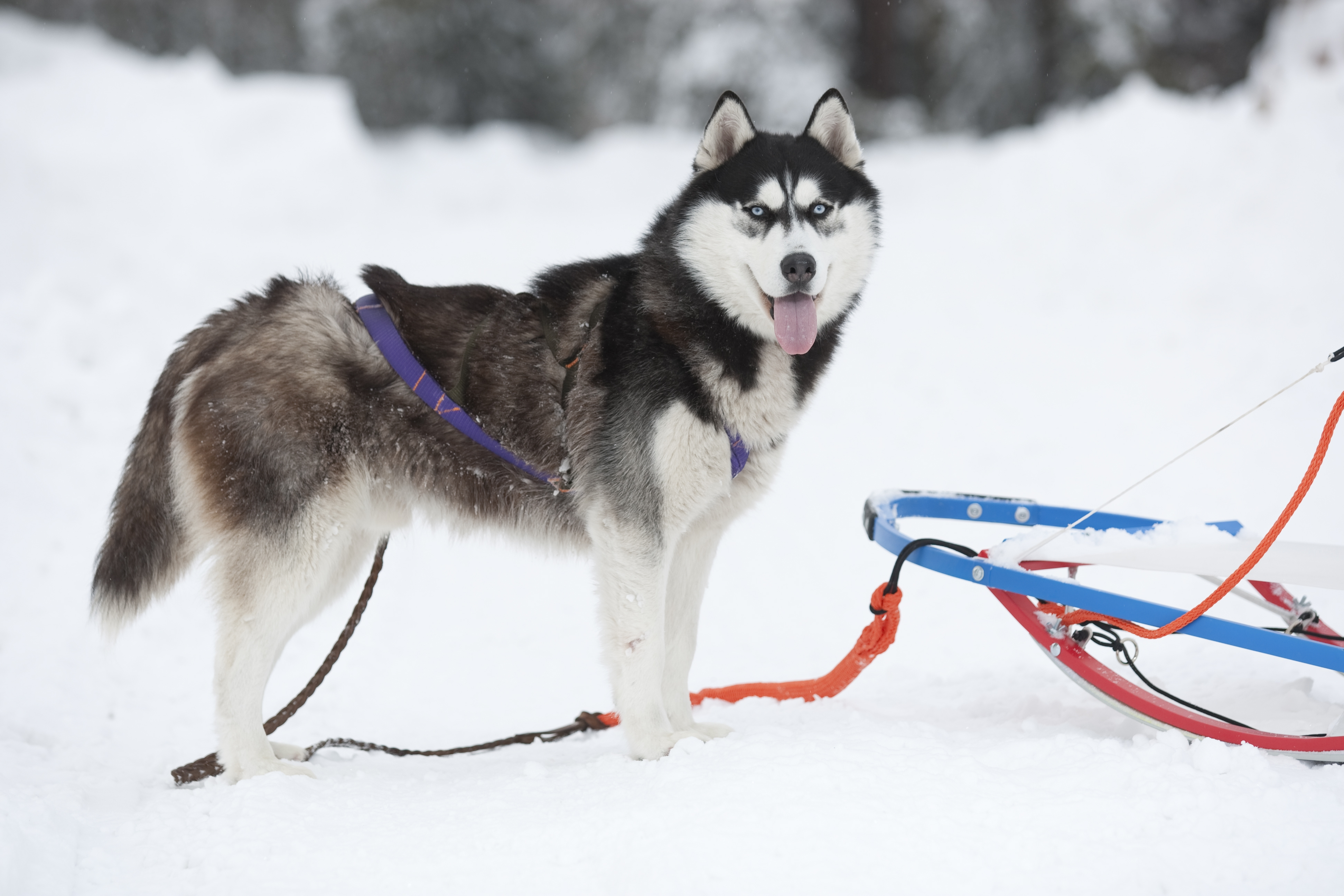 111444 download wallpaper Animals, Dog, Husky, Haska, Team screensavers and pictures for free