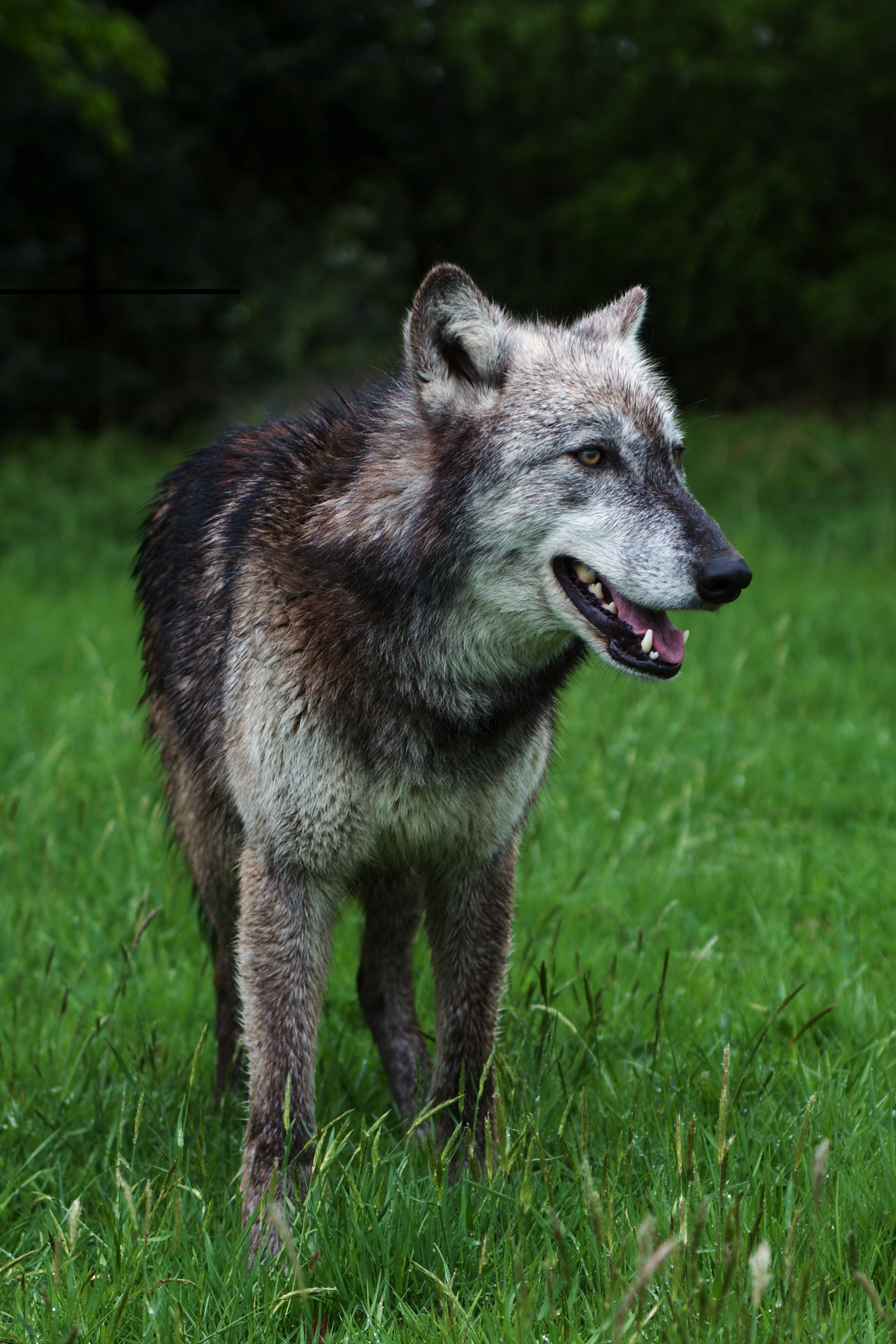 92072 download wallpaper Animals, Wolf, Predator, Dog, Wildlife, Grass screensavers and pictures for free