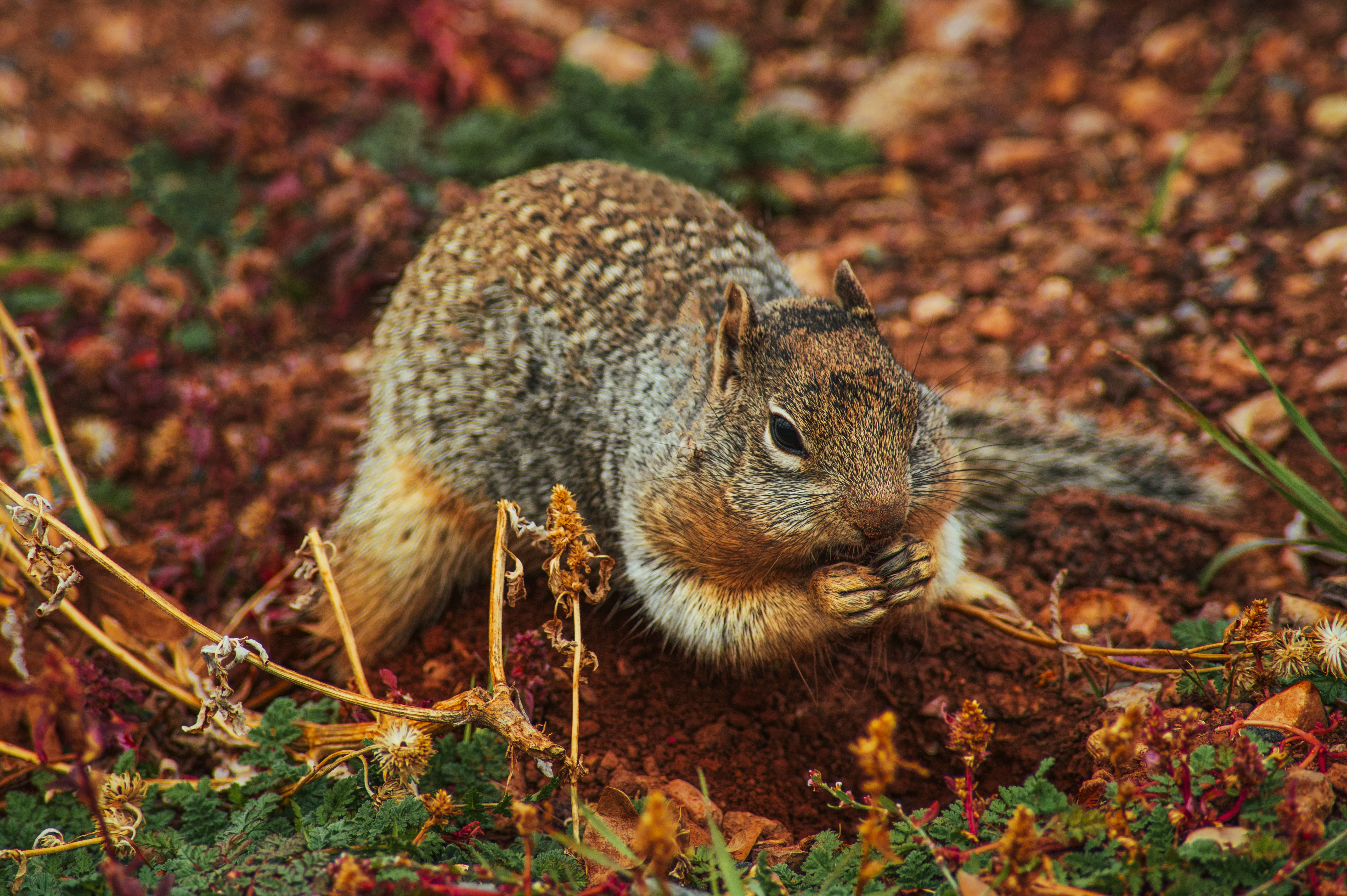 70048 download wallpaper Animals, Squirrel, Rodent, Land, Earth, Dig screensavers and pictures for free