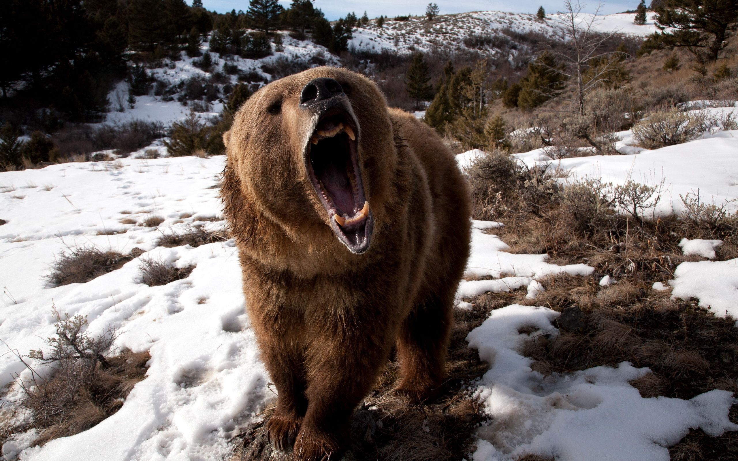 66157 Screensavers and Wallpapers Bear for phone. Download Animals, Grass, Snow, Aggression, Grin, Bear pictures for free