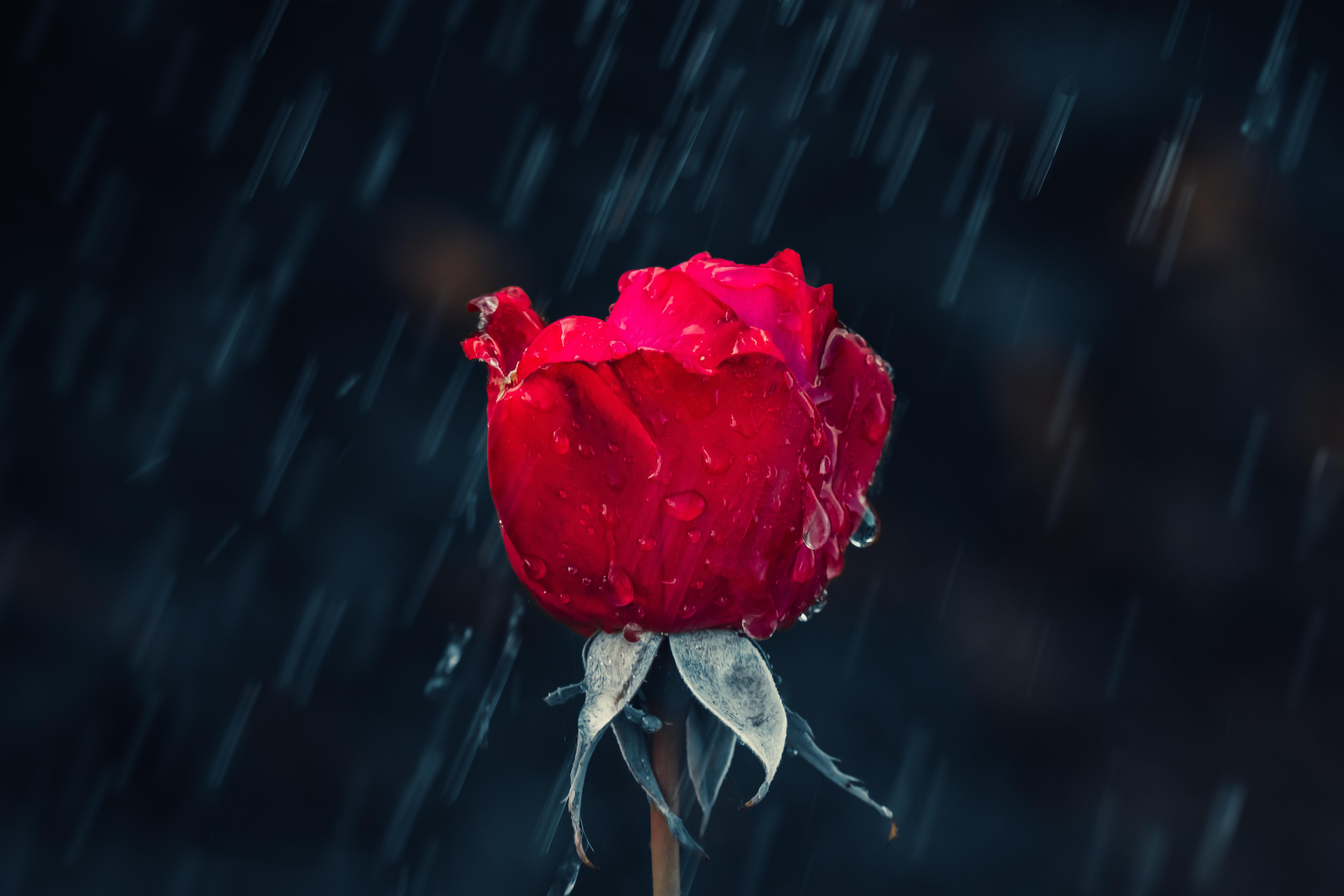 88702 download wallpaper Rose Flower, Rain, Drops, Macro, Rose, Moisture screensavers and pictures for free