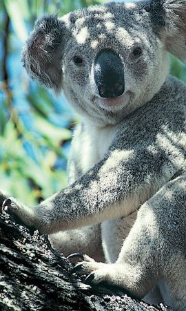 21351 download wallpaper Animals, Koalas screensavers and pictures for free