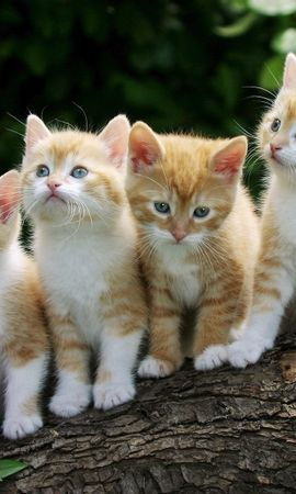6620 download wallpaper Animals, Cats screensavers and pictures for free