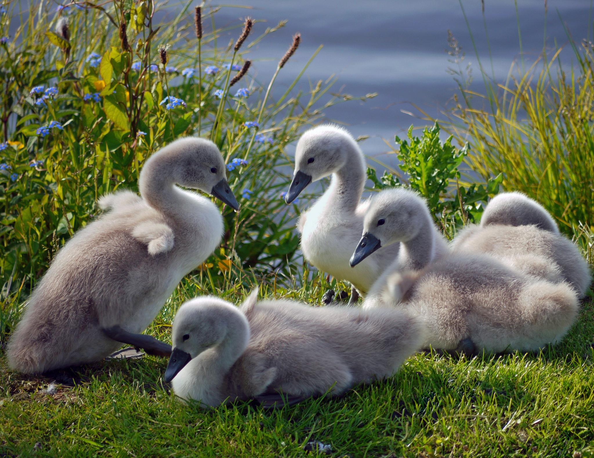 63811 Hintergrundbild 540x960 kostenlos auf deinem Handy, lade Bilder Tiere, Grass, Swans, Die Familie, Familie, Herde, Entenküken 540x960 auf dein Handy herunter